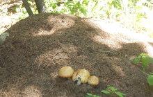 Houbaři se zatím vracejí s prázdnou, ale žampiony vyrostly v mraveništi!