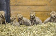 V pražské zoo pokřtili paterčata gepardů!