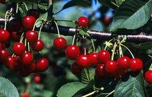 Rudé krásky plné vitaminů: Zrovna třešně zrály...