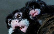 Narodilo se vousaté miminko tamarína! Ve světě jich je jen 20...