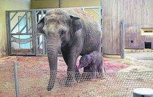 Radost v ostravské zoo: Vishesh porodila slůně!