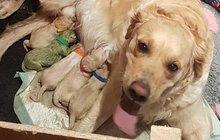 Fenka zlatého retrívra porodila zelené štěně!
