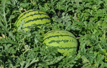 Manželé Gurovi ze Žatecka: Na zahradě sklízí 15 druhů melounů!