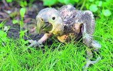 Vylíhlo se »ošklivé káčátko«: Vyroste z něj největší papoušek světa!