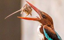 Ledňáček si dal k obědu hraboše: Nebraň se, myšáku, zůstaň v mým zobáku!