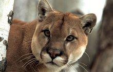 Puma zmizela ze zooparku!