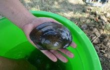 Život v řece Moravě: Vypustili jez, našli vzácné mlže!