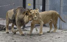 Lví pár v zoo Brno poprvé spolu: Kivu sváděla Lolka!