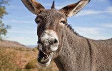 15 kluků zprznilo osla! Chytli smrtelnou nemoc