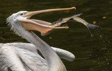 Pelikán na rybách: Ulovil macka!