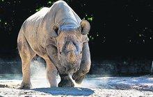 V Africe uhynula nosorožčí samice Eliška!