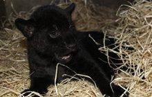 Překvapení v hodonínské zoo: Narodil se černý panter!