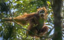 Tohle je nový orangutan: Vědci objevili skrytý druh!