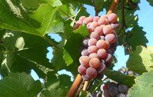 Jak poznat to správné Svatomartinské víno? Letošní ročník se povedl!