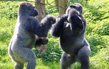 Gorilí box aneb neznám bratra!