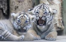 Na tygřata zítra!