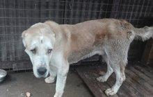 Na kost vyhladovělý a s ránou po zabíjecí pistoli v hlavě. V tak zuboženém stavu se dostal do psí záchranné stanice Bull azyl Čáslav čtyřletý Akgush. Bylo to v poslední chvíli. Po pár dnech pookřál a vrátil se zpět k původní chovatelce.