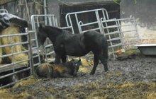 Úřady přemístily zvířata: Koně živořili v bahně! Šlo jim o život...