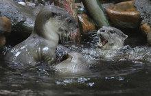 Vydří rodinka z pražské zoo v akci: Nemáte někdo rybu?