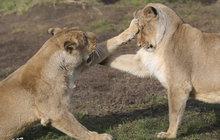 Lvi indičtí v pražské zoo měli sportovní den: Protahovali se a boxovali