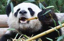 Záhada berlínské zoo vyřešena: Proč panda chodila pozadu?