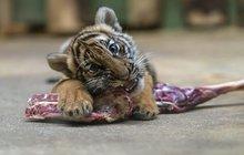 Dobrá zpráva od pruhované rodinky ze Zoo Praha: Tygřata přes Vánoce přibrala!