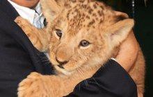 Vzácného lvíčka v plzeňské zoo pokřtili: Dostal jméno Blízký srdci!