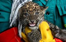 Levhartí dvojčátka z brněnské zoo:  Jsme bráška se ségrou