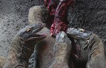 Krmení »draků«: Varani milují krvavou hostinu