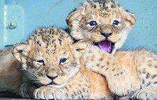 Malí lvíčci z Brna!