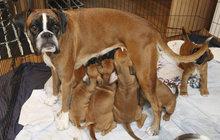 Psí prvorodička rekordmanka: 12 zdravých štěnátek