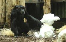 Šimpanzí pochoutka? Jedině nadívaný sněhulák!