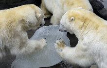 Úžasná podívaná na šelmy v pražské zoo: Sežrali medvídě a tučňáky