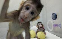 Číňané namnožili ve zkumavce roztomilé makaky: Naklonovali opice!