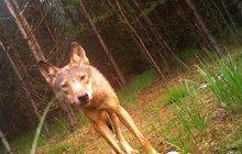 Vlci se objevili v Lužických horách!