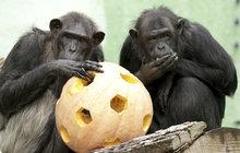 Šimpanzí ruka jako lidská