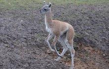 Lamí kluk se učí »mluvit« ušima