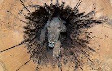 Tragická honička za mývalem: Psí »mumie« v kmeni stromu