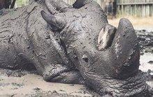 Umírající nosorožec Sudán (45): Ulevují mu koupele v bahně