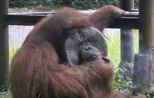 Orangutan kouří, ochránci se bouří