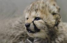 O čtyři mláďata se rozrostla šestičlenná skupina gepardů v safari parku ve Dvoře Králové. Jsou to tři holky s bráškou.
