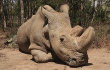 Poslední bílý nosorožec je po smrti: Zvíře z Čech hlídala i armáda!