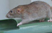 Populace hlodavců na Břeclavsku raketově roste! Zhruba 350 tisíc korun vydá letos břeclavská radnice na boj s potkany. Podle deratizéra jim mírná zima svědčila a přemnožili se.