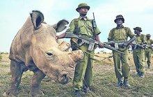 Rohy dražší než kokain! Nosorožci jsou kvůli lidské bezohlednosti před vyhynutím...