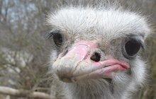 Takhle vypadá nevhodný dárek: Pštros Eda rozšlápl kurník...a musel do zoo