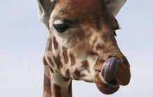 O žirafy v zoo není zájem: Saula zachránila kastrace, čeká i jeho parťáka Enjoye