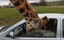 Idioti v safari parku: Mlsné žirafě přivřeli hlavu!
