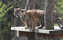 Tygříci z pražké zoo začínají poznávat svět: Dorozumívají se flíčky na uších!