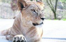 Novinka v safari ve Dvoře Králové: Mladá krev Khalila a Tessy!