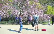 Je nádherná! V Karlových Varech rozkvetla magnolie. Turisté z celého světa si před růžově zbarveným keřem fotí selfíčka častěji než u slavné lázeňské kolonády.